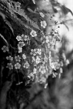 prayfornepal flower blackandwhite