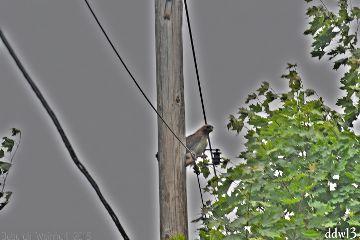 hawk bird nature