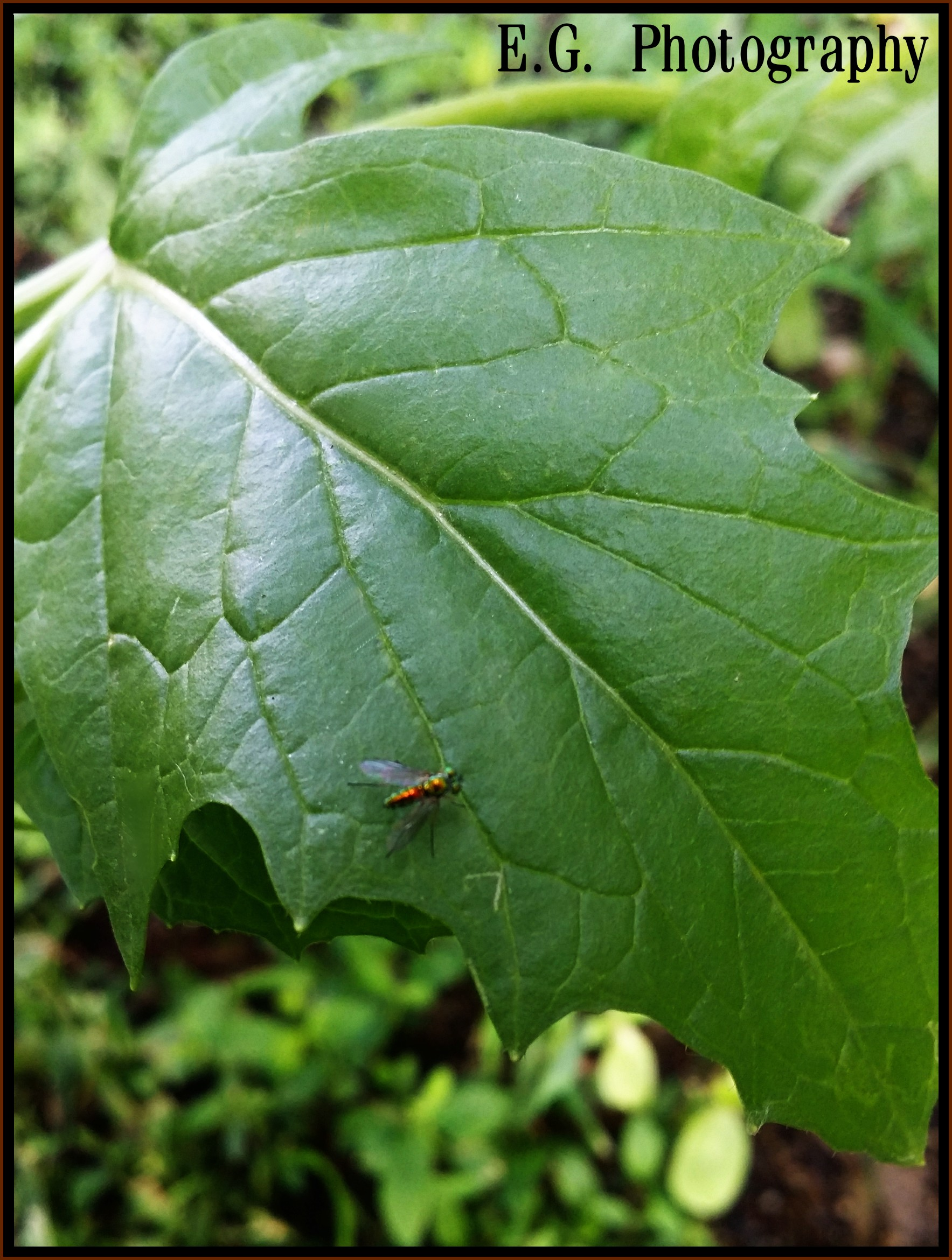 Bee Leaf Photography Info Sweat Bee Common Name For A