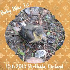 bluetit linnunpoikanen sinitiainen pirkkala