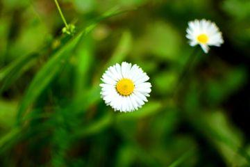 flower daisy cicek papatya nature