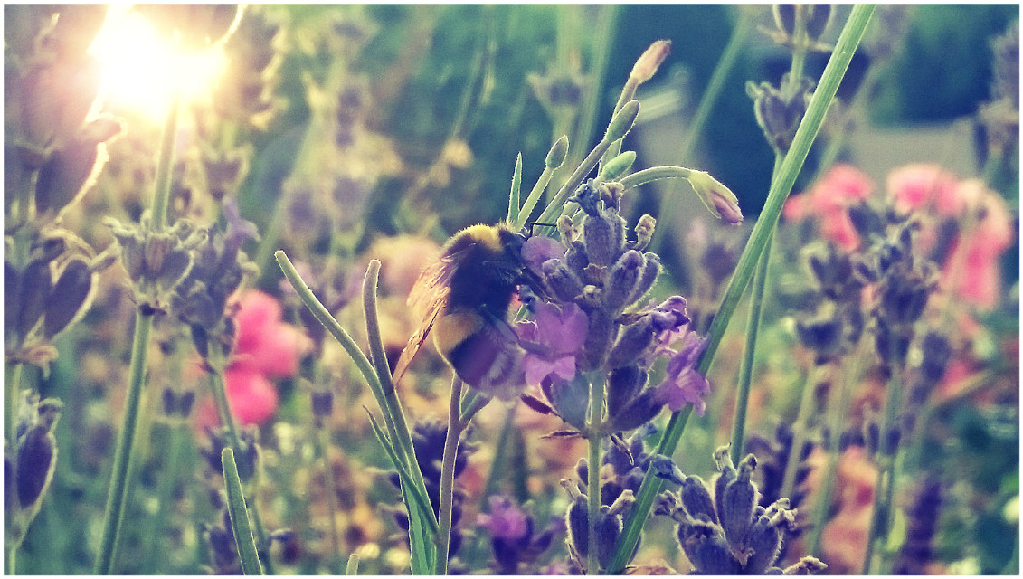 Just a bumblebee :>  #flower   #nature  #colorful  #photography