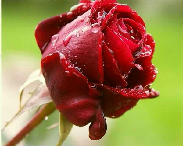 عکس گل رز یاسی
