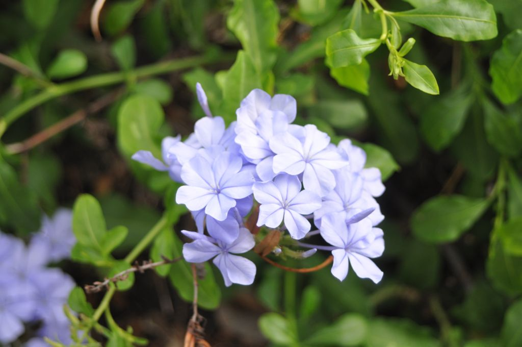 #colorful #flower #nature #blue