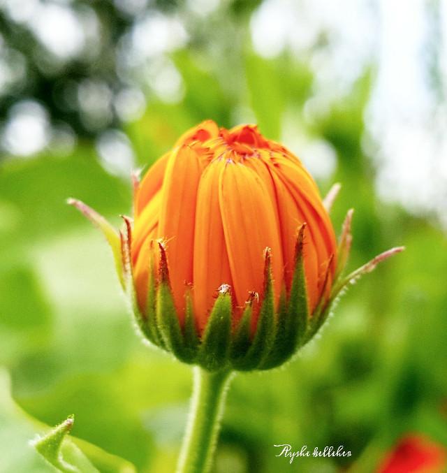 @nzgirl looks the same. 😜 #colorful #bokeh #nature #orange #flower #freetoedit #closeup