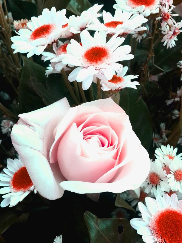 #flower #pink #red   #rose